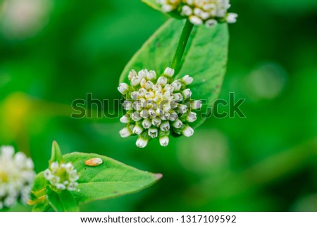 Beautiful wild flower (scientific name: Polygonum nepalense)