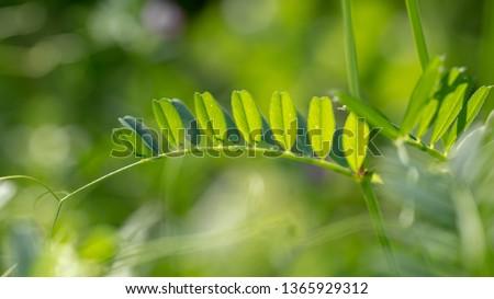 Beautiful wild flower ( scientific name: Vicia sativa)