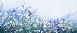 Beautiful wild flowers chamomile, purple wild peas, butterfly in morning haze in nature close-up macro. Landscape wide format, copy space, cool blue tones. Delightful pastoral airy artistic image.