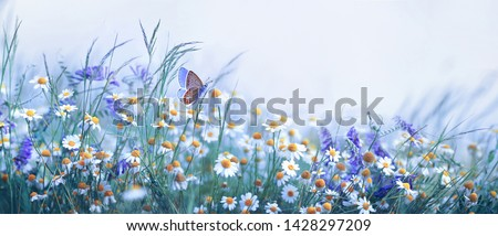 Photo of Beautiful wild flowers chamomile, purple wild peas, butterfly in morning haze in nature close-up macro. Landscape wide format, copy space, cool blue tones. Delightful pastoral airy artistic image.