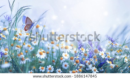 Beautiful wild flowers daisies and butterfly in morning cool haze in nature spring close-up macro. Delightful airy artistic image beauty summer nature.