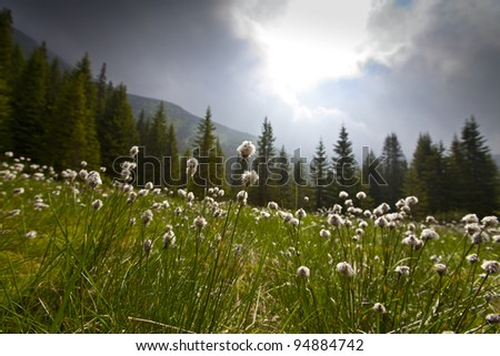 Beautiful wild flowers in alpine environment