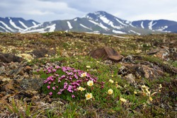 Beautiful wild flowers of Silene acaulis, known as moss campion or cushion pink and Dryas in the tundra on a background of mountains. Arctic nature and plants. Chukotka, Siberia, Far East of Russia.