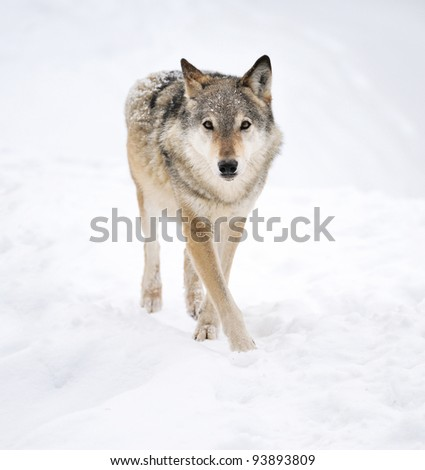 Beautiful wild gray wolf in winter