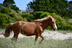 Beautiful Wild Horse in Shackleford Banks, North Carolina
