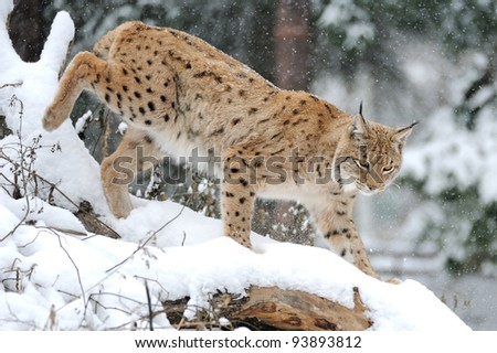 Beautiful wild lynx in winter