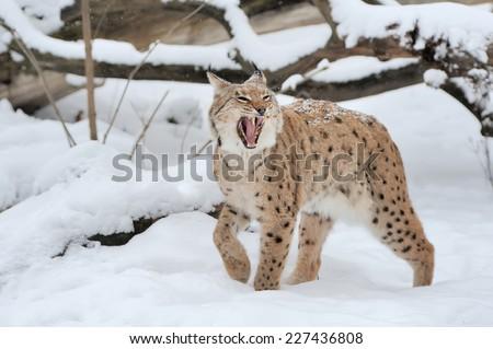 Beautiful wild lynx in winter time #227436808