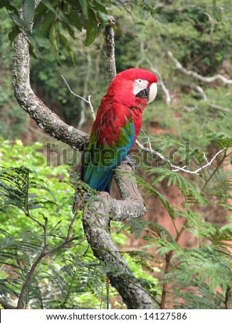 Beautiful wild red arara (macaw), seen at Buraco das Araras (Macaws Hole), near Bonito, Brazil
