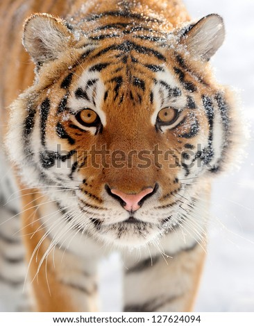 Beautiful wild siberian tiger on snow #127624094
