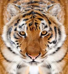 Beautiful wild siberian tiger portrait on snow