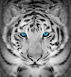 Beautiful wild siberian tiger portrait on snow with blue eye