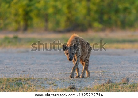 beautiful wild spotted hyena walking in the morning sunlight