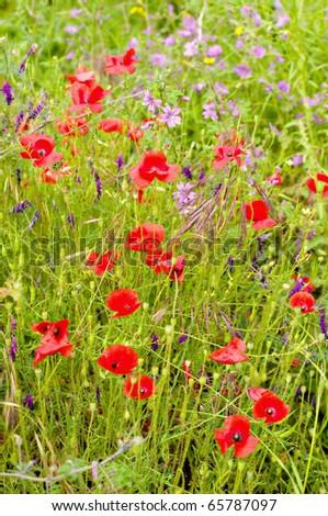 NHBS - Wild Flowers of Greece - Papiomitoglou, Vangelis