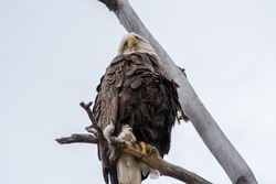 Beautiful, wild, stunning, amazing bald eagle seen in Yukon Territory, Canada. Seen in the summer near it's breeding nest.