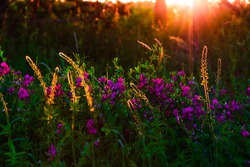 Beautiful wildflowers on a green meadow. Warm summer evening with a bright meadow during sunset. Grass silhouette in the light of the golden setting sun. Beautiful nature landscape with sunbeams.