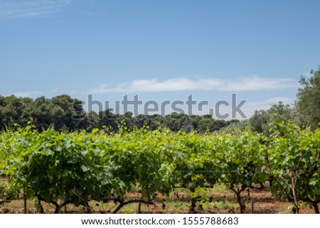 Beautiful wineries rows of grape vines, France, Cannes #1555788683