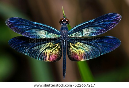 Beautiful wing of dragonfly
