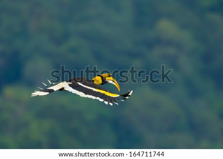 Beautiful wings of Great Hornbill (Buceros bicornis) flying in nature