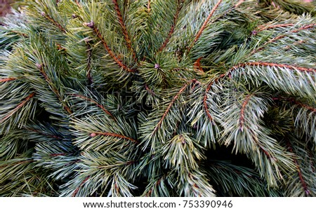 Stock Photo Beautiful winter backdrop. Nice fir branches. Close up. Wonderful background for your text. Christmas decoration.