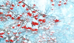 beautiful winter background. Red rowan berries covered with snow. frozen rowan trees. new year and christmas time. copy space