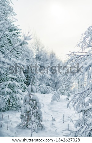 beautiful winter fairytale forest in norway scandinavian forest. Fairytale forest. Old Tree. Landscape with trees