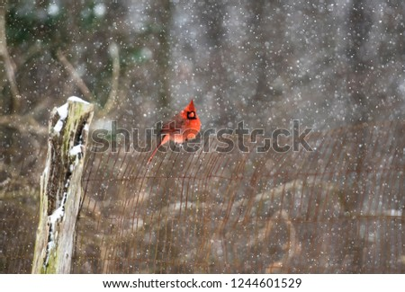 Beautiful Winter Festive Wildlife Photo of Bright Red Cardinal Bird Perched on Top of Brown Fence with Wooden Post in Middle of Forest with Blurred Snowy Background