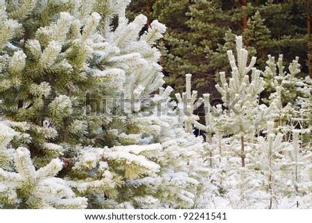 Beautiful winter forest, fur-trees under snow
