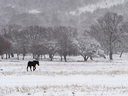 beautiful winter landscape on harsh weather, Dobrogea, Romania - lonely horse on field