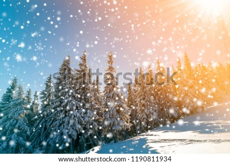 Beautiful winter landscape. Pine trees with snow and frost on mountain slope lit by bright sun rays on colorful blue sky and falling snowflakes background. Happy New Year and merry Christmas card.