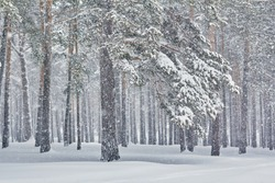 beautiful winter landscape. snowfall in the pine forest.
