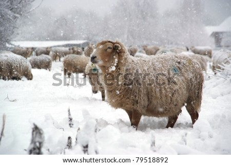 Beautiful winter landscape with fresh snow and a lot of sheep.