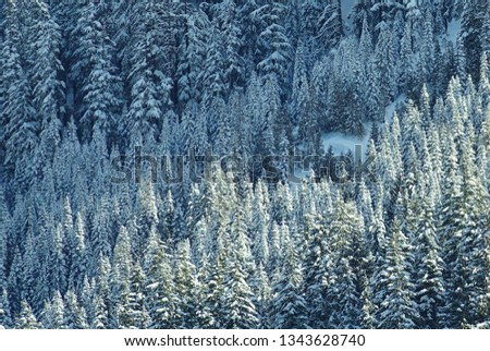 Beautiful winter mountain nature scene. Snowy evergreen trees run diagonally thru frame isolated on mountain slope in Mount Baker Snoqualmie National Forest. One patch of deep white snow. WA Cascades. #1343628740