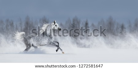 Beautiful winter panoramic landscape. Pretty grey arabian horse galloping during blizzard across snowy field.