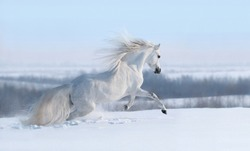Beautiful winter panoramic landscape. White horse with long mane galloping across winter snowy meadow.