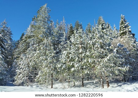 Beautiful winter scene in Washington Cascade Mountains & the Wenatchee National Forest. Freshly fallen snow covering branches of several pine & evergreen trees under nice blue sky & snow on ground. #1282220596