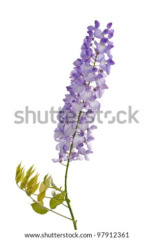 Beautiful wisteria flowers isolated on white background.