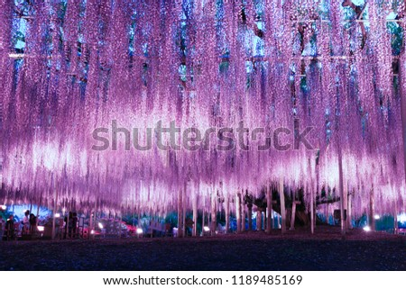 Beautiful wisteria illumination in Ashikaga Flower Park, Tochigi prefecture, Japan