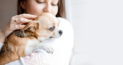 Beautiful woman holding and hug her lovely little smiling dog. Friend of human. Good sunny morning at home. Portraite of cute puppy chihuahua.