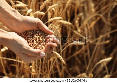 Beautiful woman holding wheat grain in field on sunny day, closeup #1131604745