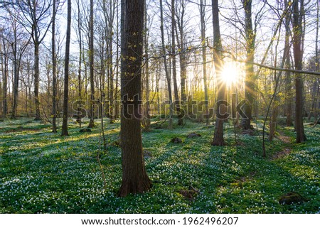 Beautiful wood anemone (Anemone nemorosa) spring flowers in beech forest with golden sunlight on the Swedish west coast. Stockfoto ©