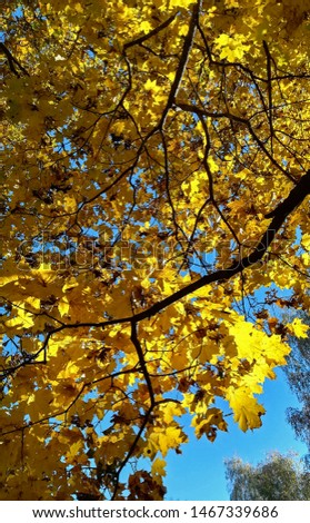 Beautiful yellow and colorful autumn  leaves on a tree branch with blue sky in background in sunny day of  fall season #1467339686