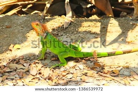 beautiful yellow and green iguana - south america, central america, wild life, colombia, costa rica, equator, panama venezuela