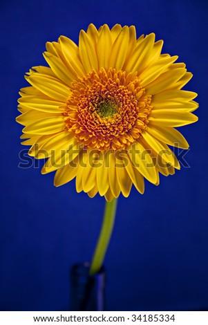 Yellow And Blue Gerbera Daisy Beautiful yellow and orange