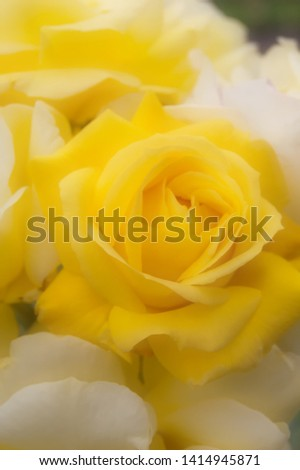 Beautiful yellow and white roses pictured in soft focus.
