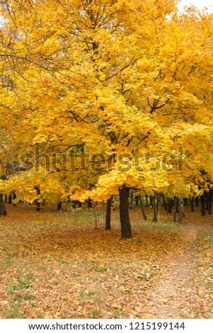 Beautiful yellow autumn tree, golden autumn