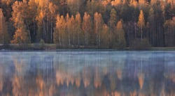 beautiful yellow birch trees in the forest are reflected in the morning misty lake in early autumn