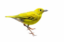 Beautiful yellow bird isolated standing on white background,yellow bird.
