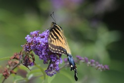 Beautiful yellow black blue eastern tiger swallowtail butterfly bush purple flowers brown blooms attractive green background large eyes antenna sunny summer afternoon Nottingham Maryland USA