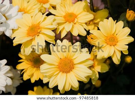 Beautiful yellow chrysanthemum flowers