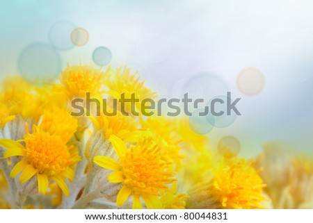 Beautiful yellow colorful spring flower background with blue bokeh light. Flowers in misty morning with blue sky in the back.